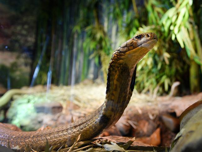 Who's a pretty boy then? Male King Cobra Aran is over 4m long. Picture: Peter Clark