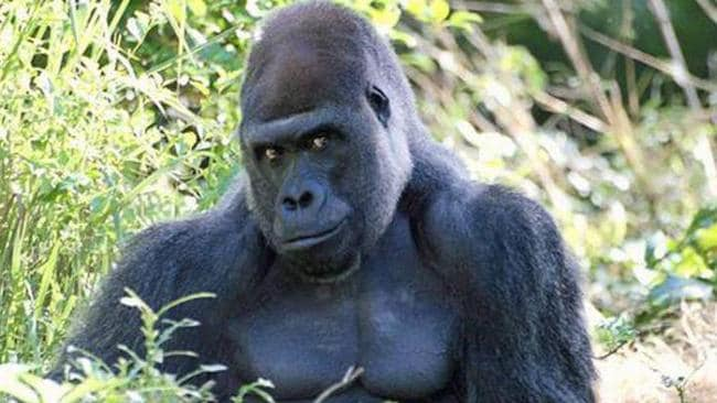 This 'handsome' gorilla looks like he's the stud of the animal world thanks to his effortless pose. Picture: Reddit