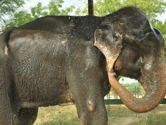 Raju enjoys a bath at the wildlife centre.
