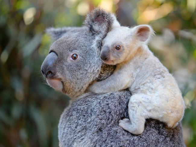 Australia Zoo in Queensland has welcomed its first white koala joey. She was born to mum Tia and dad Slater, in January. Picture: Supplied