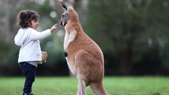 Two-year-old Pareesa meets a red kangaroo at Cleland Wildlife Park. Picture: Dean Martin