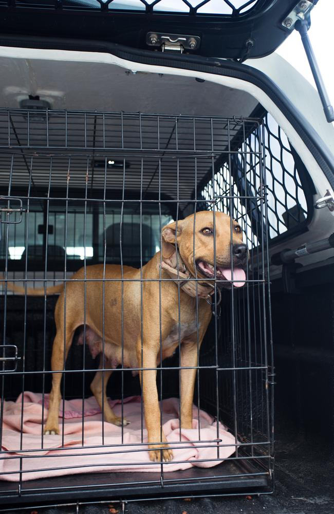 A female dog rescued from the fighting ring. Picture: RSPCA QLD