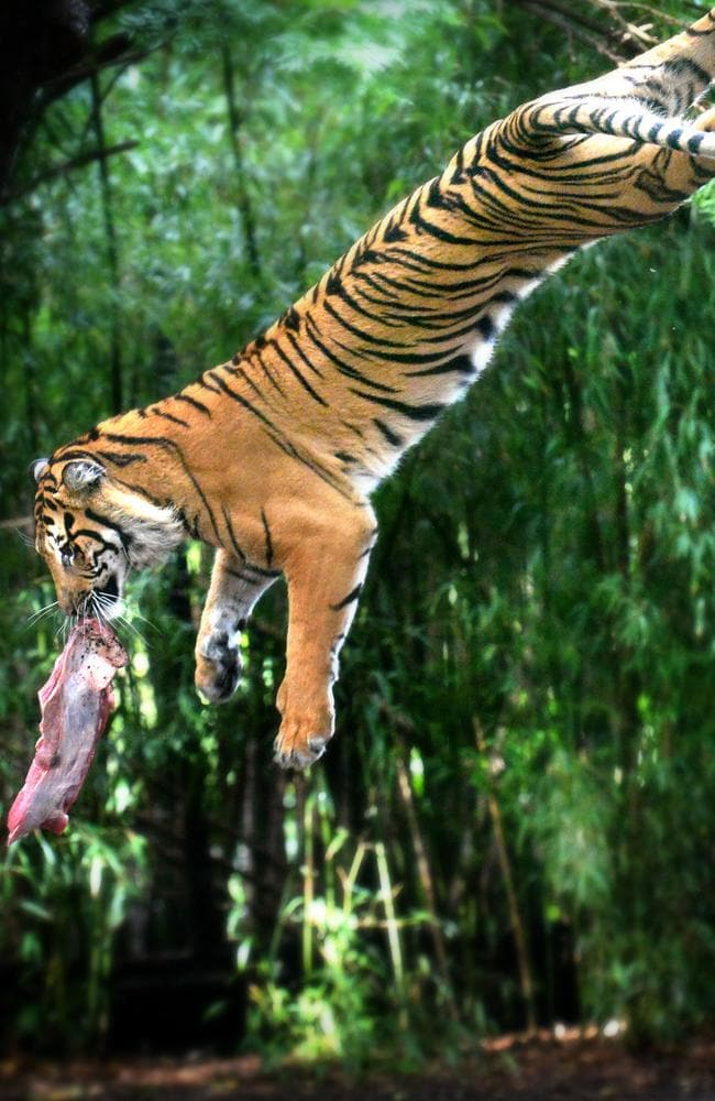 Indrah the tiger plays with her food. Picture: Tony Gough