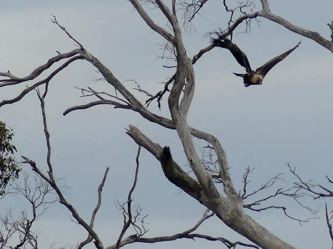 Ernie the eagle leaves his perch after being spotted near French's Farm on Maria Island. Picture: BOOKEND TRUST