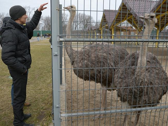 A Ukrainian takes a look at former Yanukovych's pet ostriches. Picture: Getty Images