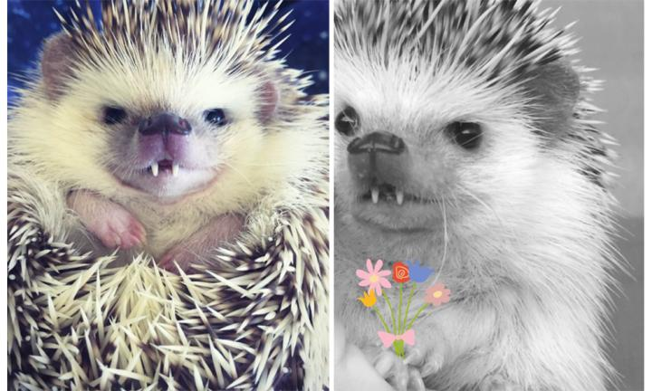 This vampire hedgehog is slaying us with cuteness
