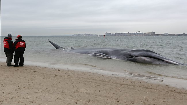 An emaciated 12-metre long fin whale that beached itself in the Breezy Point neighborhood of the Rckaways in Queens, New York. (AP Photo/Kathy Willens)