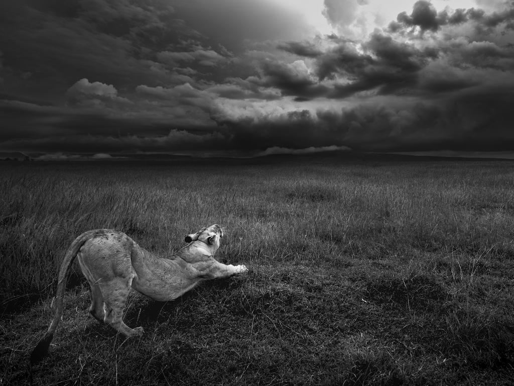 Photo by Joël Fischer / National Geographic Nature Photographer of the Year contest Étirement A lioness stretches into the immensity of Masai Mara, Kenya
