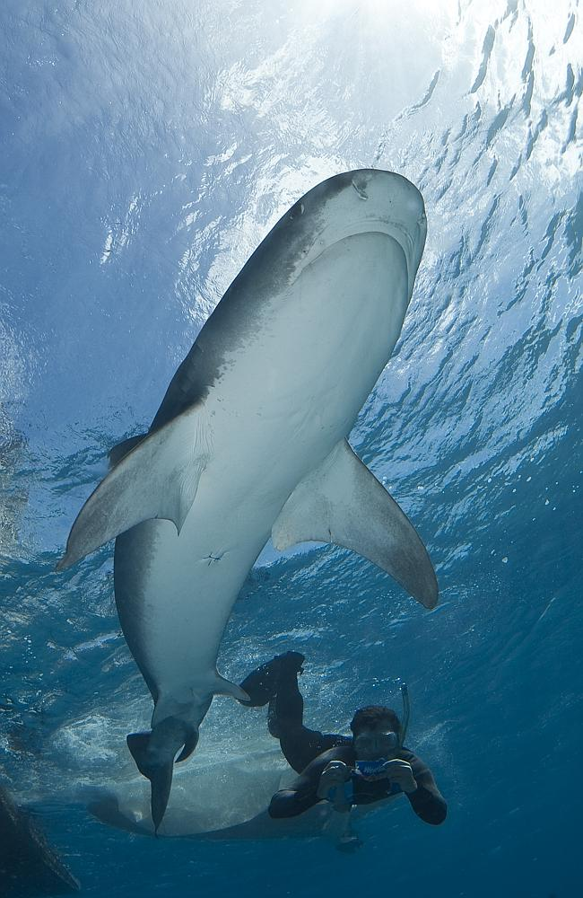 A university shark researcher gets up close to a Tiger shark in a more controlled environment.