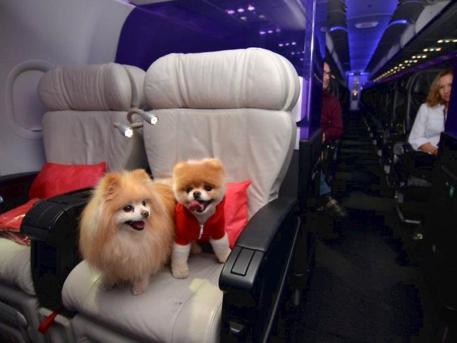 Boo the dog living it up in first class with a friend. Picture: Virgin America