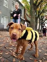 <p>Scarlett Kibler walks her 3-month-old red nose pit bull, Isis, wearing a bee costume for the Old Town Halloween event in Winchester, Virginia. Picture: AP Photo/The Winchester Star, Scott Mason</p>
