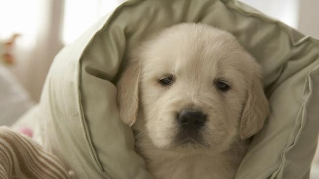 This is a cute photo of a dog wrapped in a pillow, to make you feel better about your gross pillow.