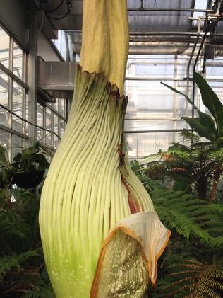 Denver Botanic Gardens' corpse plant currently stands at 157cm.