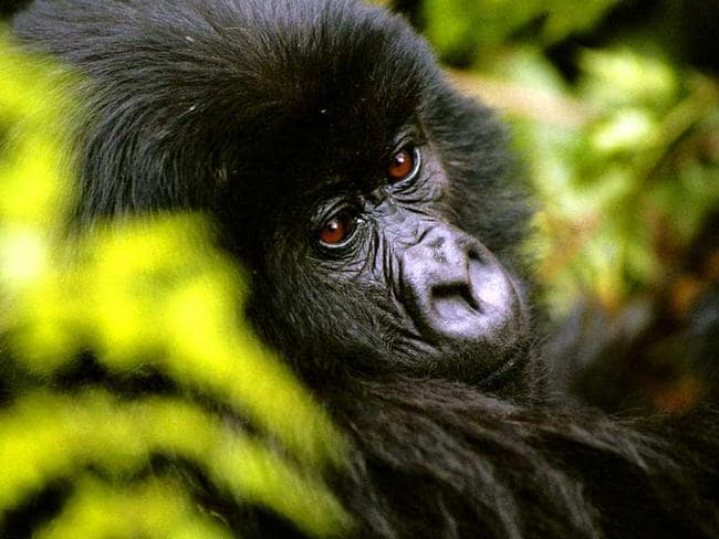 Rwanda's gorillas are a huge tourism drawcard. Picture: Tamara Hinson