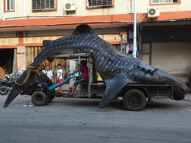 "Local fishermen caught the whale shark, which they thought was a ""sea monster"" and reported to local police after returning from the sea."