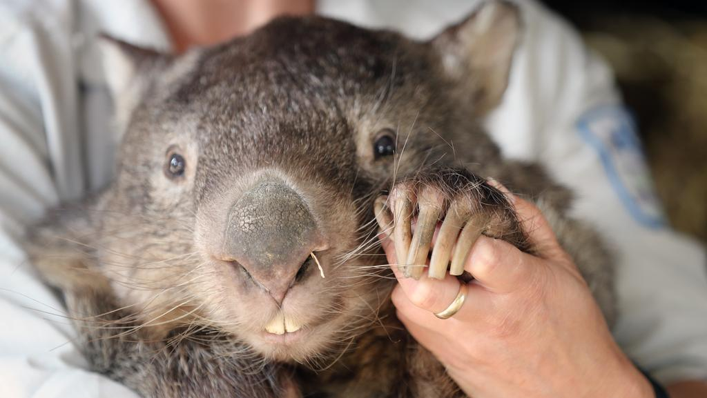 Patrick the wombat has died at the ripe old age of 31 at Ballarat Wildlife Park. Picture: Alex Coppel.