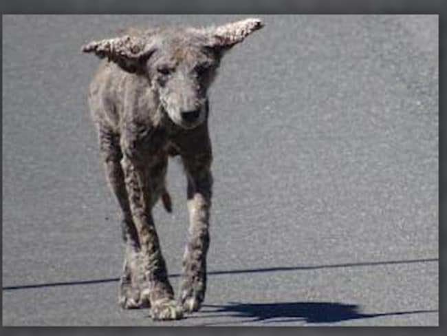 An image released shows one of the so-called 'zombie dogs' that have been spotted in a Chicago neighbourhood.