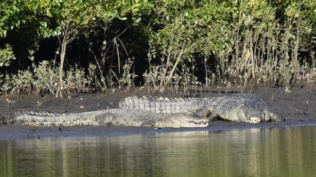 Two saltwater crocodiles, estimated to be 4.5m and 3m long, photographed on bank of Mowbray River, near Port Douglas on July 16 PIC: Kwessence Imagery