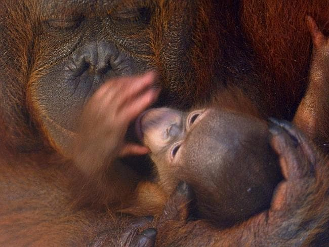 This ten-day-old male baby orang-utan Dana shares 98 per cent of his DNA with a human baby, but the species could be extinct within 10 years.
