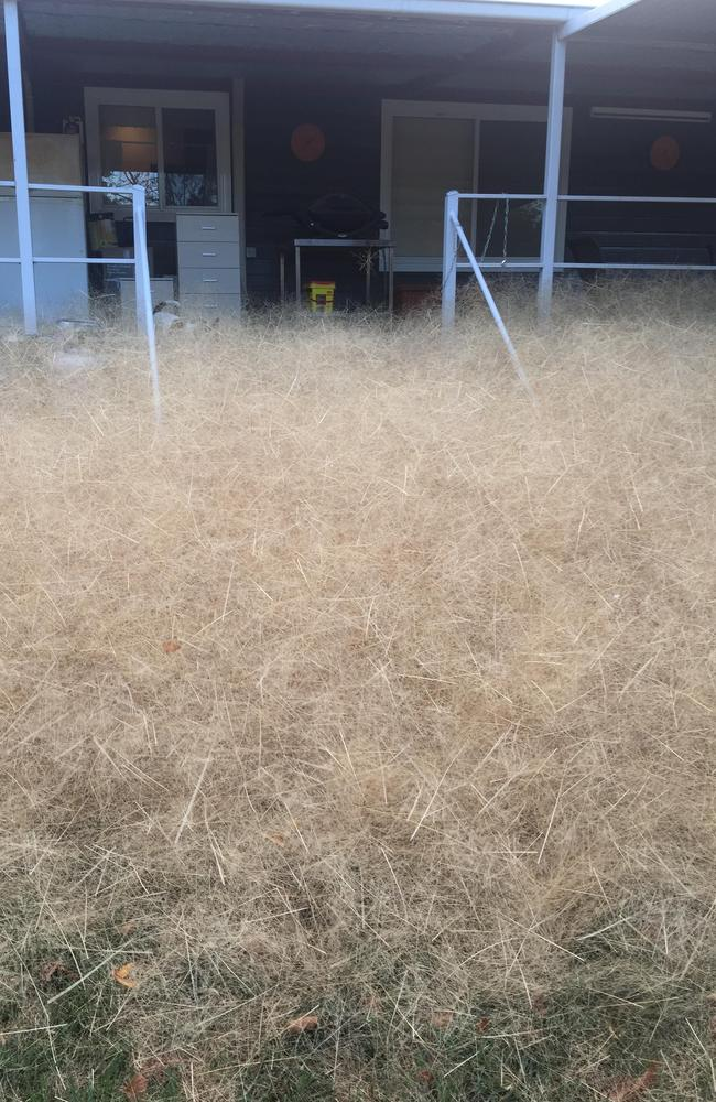 The tumbleweed at peak plague. Picture: Leanne Gloury