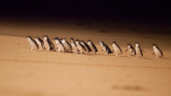 Phillip Island is world-famous for its nightly Penguin Parade. Picture: Supplied