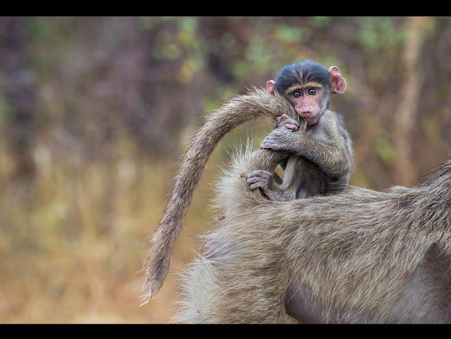 This baby baboon nervously holds on, not biting its nails, to its mother's tail as she takes it for a quick ride. The youngster stares straight into the camera as it holds on to its mother's tail and even begins to chew it as she starts to walk...The Chacma Baboons were spotted in the Kruger National Park, South Africa, by wildlife photographer Tanya Stollznow. Pictured: The baby baboon holds on to it's mother's tail. Picture: Solent
