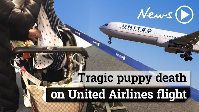 Good Morning America United Airlines : United airlines dog dies after attendant puts it in