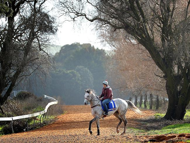 Mitch Freedman rides Puissance back to the stables after a track gallop at Ballarat last spring. Picture: Nicole Garmston