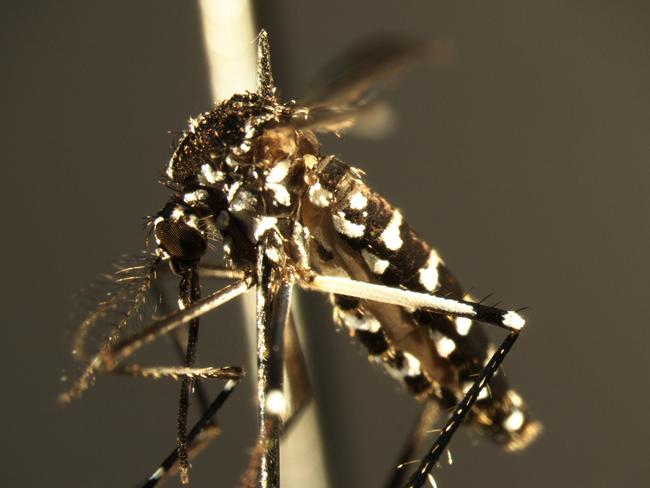 Australians have good reason to fear the Asian tiger mosquito (aedes albopictus).