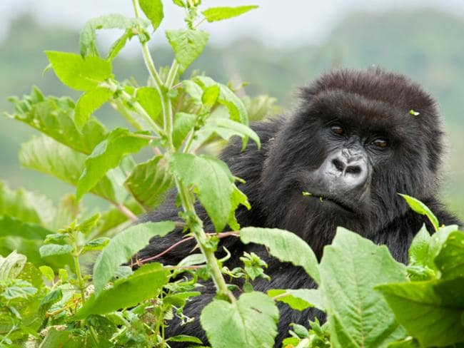Rwanda's population of mountain gorillas attracts thousands of tourists.
