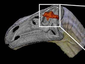 First ever dinosaur brain found