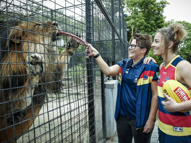 ROARING TO GO: Adelaide Crows coach Bec Goddard and player Jenna McCormik feed African lion Mujambi at the Adelaide Zoo. <b>Picture: </b>Mike Burton