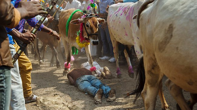 Hindu devotees lie on the ground in front of running cows as part of a ritual during the Govardhan Puja festival in Dhar.