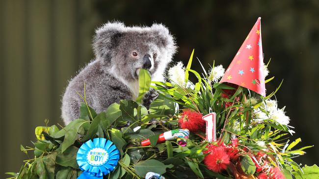Adorable Baby Koala Archer Celebrates First Birthday And