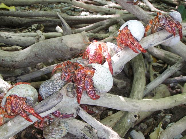 Hermit crabs gather on tree roots for their daily catch-up.