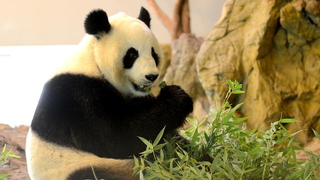 Ready to receive Easter visitors ... giant panda Funi at the Adelaide Zoo. Photo: Sam Wun