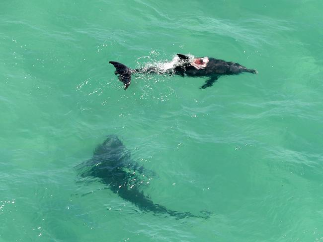 A 3.5 metre shark goes in for the kill on a dolphin / Picture: Peter Lorimer