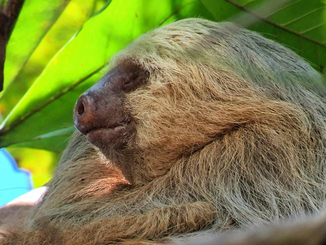 Costa Rica is famous for its sloths, such as this guy at Manual Antonio National Park. Picture: Gary Burchett