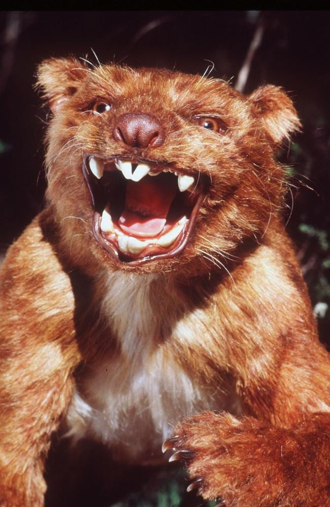 A model of the Thylacoleo Carnifex marsupial lion. Picture: Paul Ovendon / Australian Museum