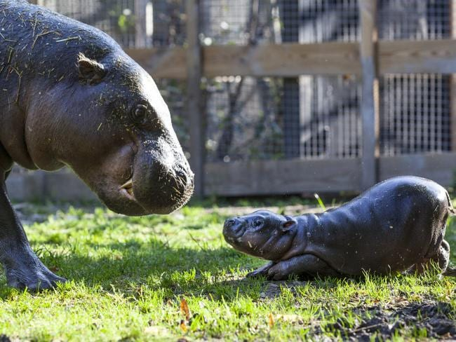 Little 'Michelin Man' goes nose-to-nose with her mum. Picture: Parken Zoo