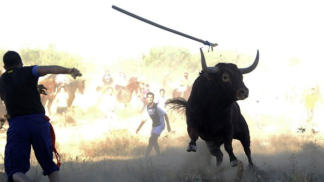 This picture was taken by AFP freelance photographer Pedro Armestre before he was gored by the bull. In the photo a participant throws a spear at the bull during the 'Toro de la Vega' festival, in Tordesillas.