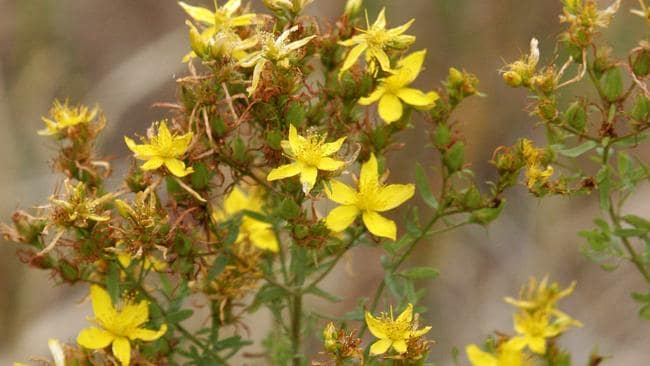 a comparison of the side effects of prozac and st johns wort