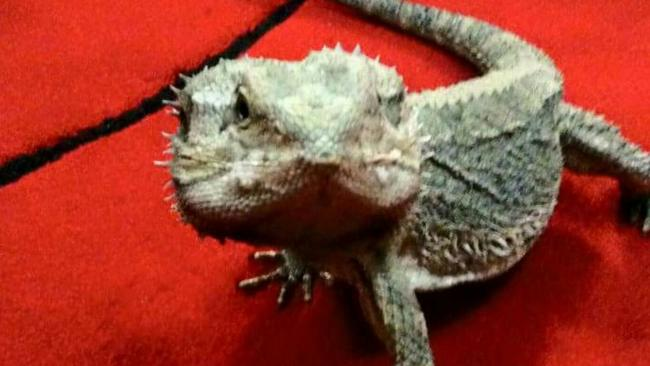 Charlie the bearded dragon, who was cremated at Pet Angel Funerals, Molendinar.