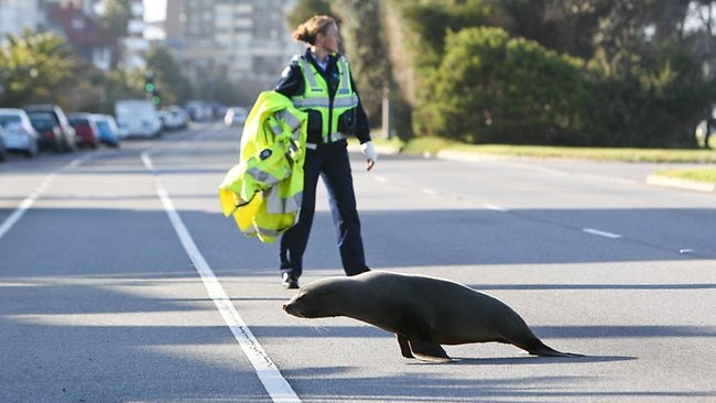 A seal made its way onto Beaconsfield Parade near Armstrong St in Middle Park and stopped traffic. Picture: Chris Scott