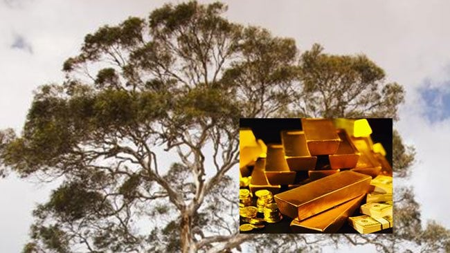 RICH DISCOVERY: A CSIRO team claims to have found gold growing on gum trees on the Eyre Peninsula.
