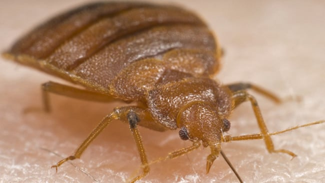 Yuck  These little guys are getting stronger. Bed bugs are on the rise  How to get rid of and treat bed bugs