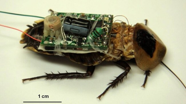 An image of a bee involved in DARPA's Hybrid Insect Micro Electromechanical System program. Picture: Courtesy of DARPA