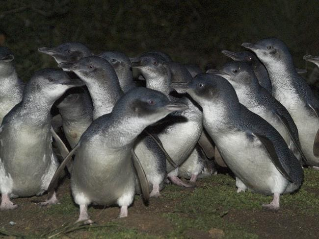 Montague Island is a haven for nesting seabirds, including a population of 10,000 little penguins. Picture: Environment and Heritage NSW