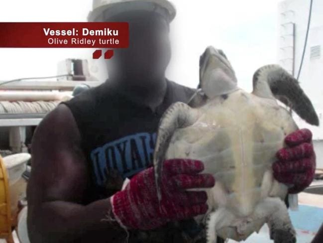 Turtles and other marine life are also killed unnecessarily. Picture: Screengrab/Greenpeace