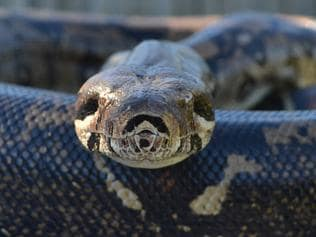 Victorian snake catcher Barry Goldsmith was called out to capture this 2.6m red-tailed boa constrictor in a shed on Old Wells Rd in Seaford on May 18, 2015. The species, native to Central and South America, are illegal in Australia. It is believed to be someone's escaped pet.